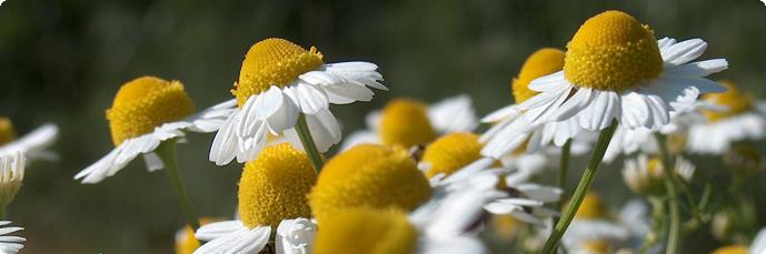coltivazione-piante-officinali