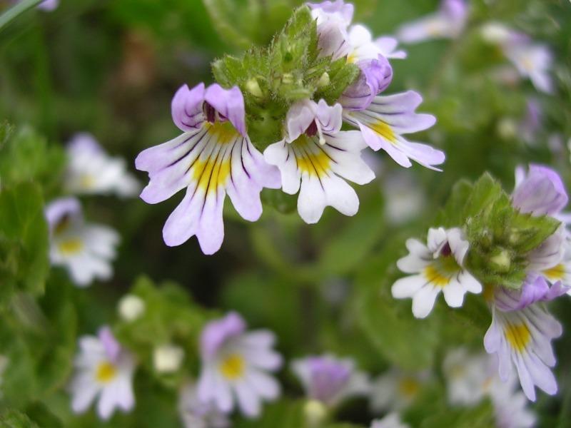 eufrasia-fiori1