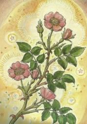 rosa selvatica disegno